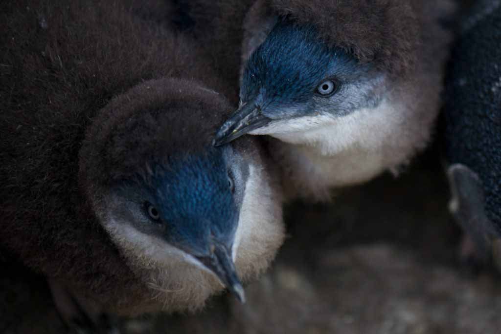 A penguin tour is the best way to see these glorious creatures up close. We share what you can expect on a Bicheno Fairy Penguin Tour in Tasmania.